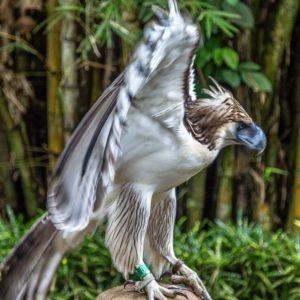 Davao - Philippine Eagle 3